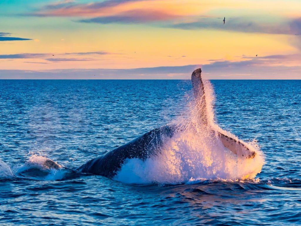 Humpback Whale breaching in deep blue