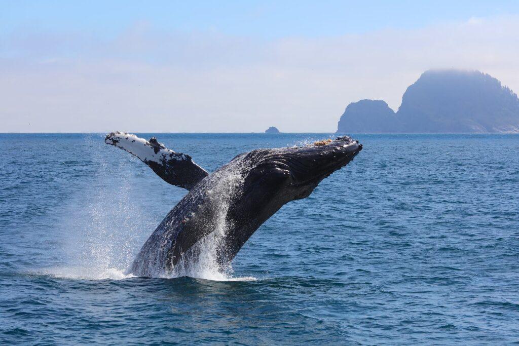 whale breaching ocean surface at Cabo San Lucas, Rancho San Lucas